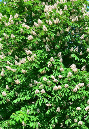 chestnut tree: natural background with lots of chestnut tree blossoms Stock Photo