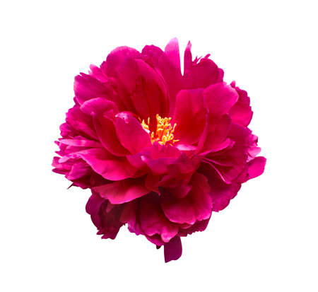 Pink peony flower isolated on white background 版權商用圖片 - 20235692