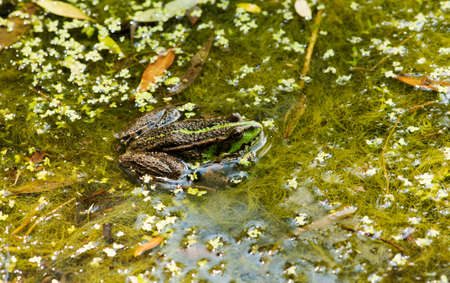 limnetic: Frog on the algae in the pond Stock Photo