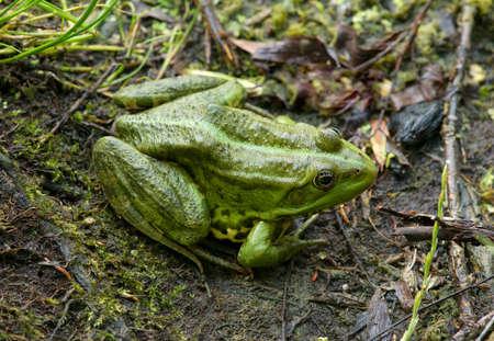 ova: Frog on the algae in the pond Stock Photo