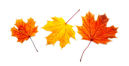 sear and yellow leaf: Three colorful maple autumnal leaves. Isolated on a white. Stock Photo