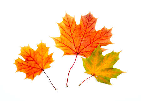 Three colorful maple autumnal leaves. Isolated on a white. photo