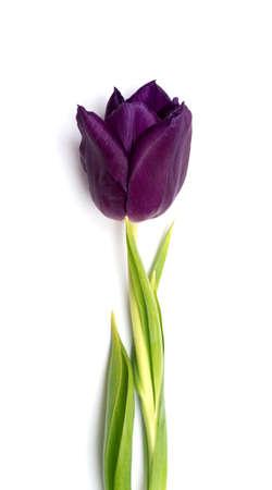 purple tulip isolated on white background photo