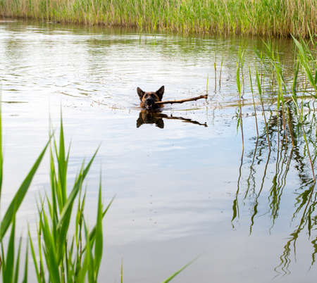 The German shepherd bathes in a pond photo