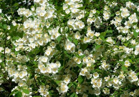 jessamine: Fiori di gelsomino - sfondo; gelsomini in fiore bello
