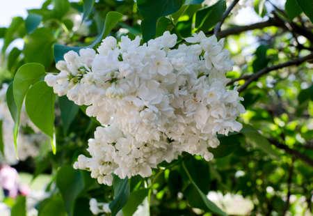 Weiß Blühende Flieder Im Frühling Lizenzfreie Fotos, Bilder Und ...