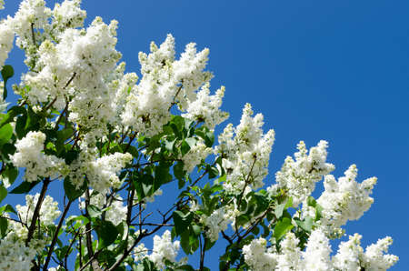 White blooming lilac in springtime photo
