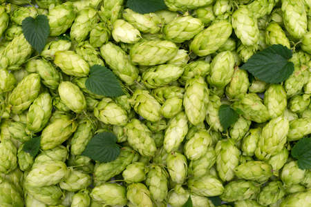 common hop: Hop texture
