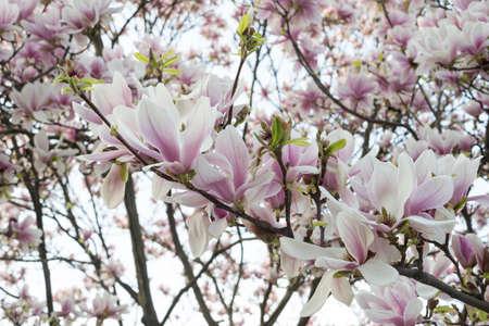 magnolia flowers: Blossom pink magnolia flowers