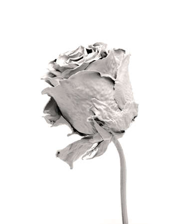 White Rose depicted on a white background