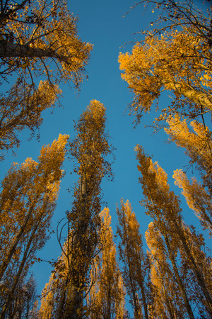 Poplar trees at sunset against a blue sky in Autumn 2 Stock fotó