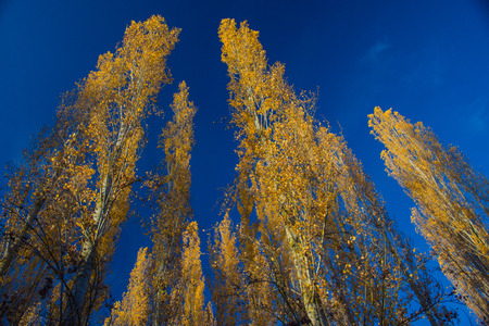 Poplar trees at sunset against a blue sky in Autumn 1 Stock fotó