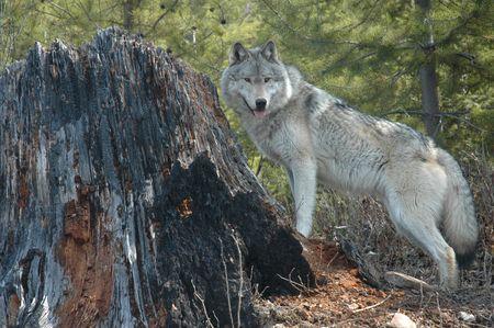 lobo: Lobo gris que est� parado al lado de un toc�n del �rbol.