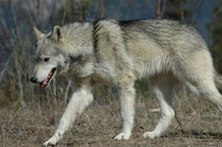 Wolf walking in the forest. Stock Photo - 495611