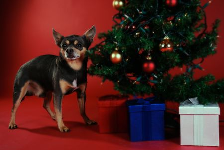 pooches: Chihuahua next to a Christmas tree on red