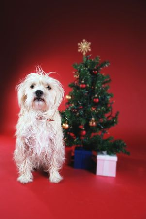 pooches: Dog next to Christmas tree on red
