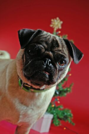 pooches: Pug in front of a Christmas tree on red