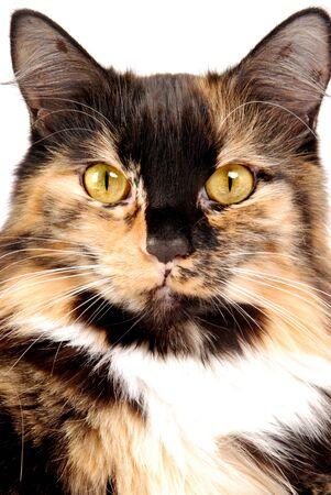 calico: A portrait of a calico cat