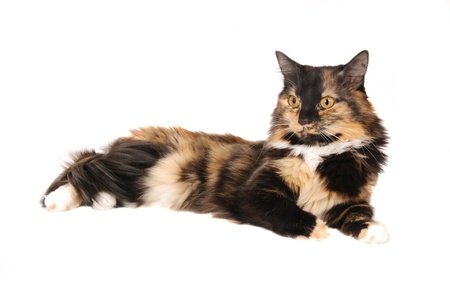 calico whiskers: A calico cat laying down on white