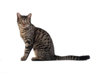 A tabby cat sitting on white Stock Photo - 9302326