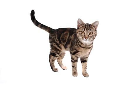 Een gestreepte katkat op wit wordt geïsoleerd dat