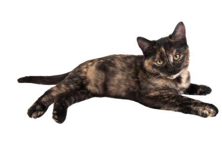 calico: A calico kitten laying down on white Stock Photo