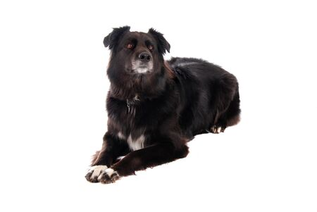 A black German Shephard / Boarder Collie mix laying down on white. Stock Photo - 10633182