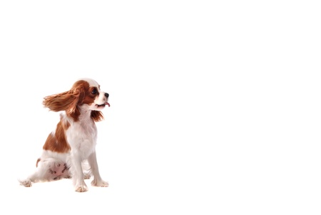 A Cavalier King Charles Spanial puppy sticking out it's tongue.