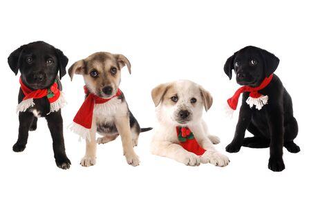 sciarpe: Quattro cuccioli in sciarpe vacanze su bianco, tema di Natale