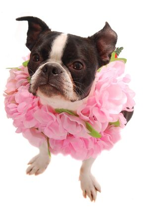 funny boston terrier: A purebred Boston Terrier wearing a pink Lei  Hawaiian vacation and party theme