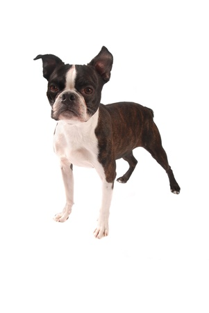 Purebred Boston Terrier on a White Background photo