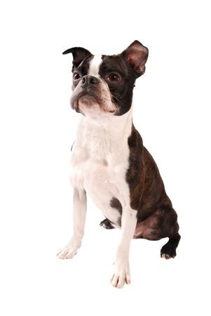 boston terrier: Purebred Boston Terrier Dog Standing on a White Background