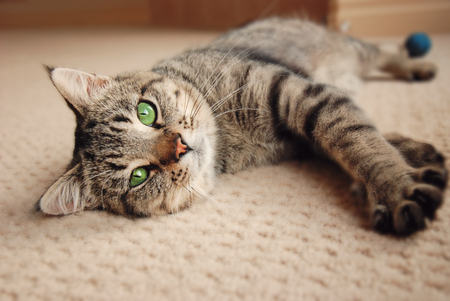 Green eyed kitten relaxing on cream carpet photo