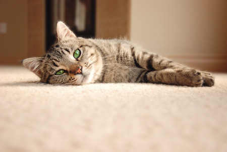 Cute tabby cat with green eyes laying on carpet