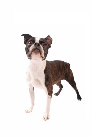 boston terrier: Brindle Boston Terrier dog standing and looking up on a white background Stock Photo