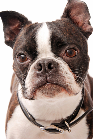 boston terrier: Face shot of a cute Boston Terrier dog on a white background