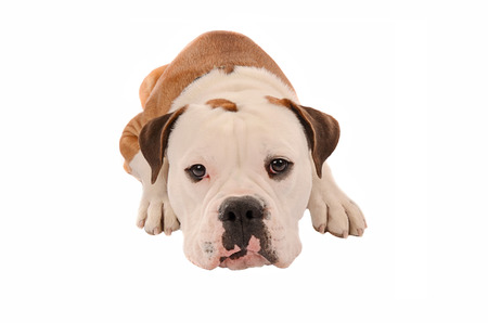 pouty: an olde english bulldogge laying down on a white background