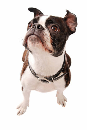 boston terrier: Cute Boston Terrier Dog Looking up on a white Background Stock Photo