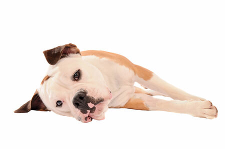 pouty: Olde English Bulldogge Laying down on a white background