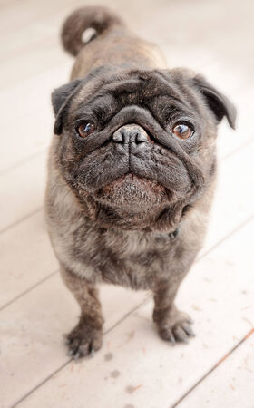 brindle: Cute Brindle coloured pug standing outside