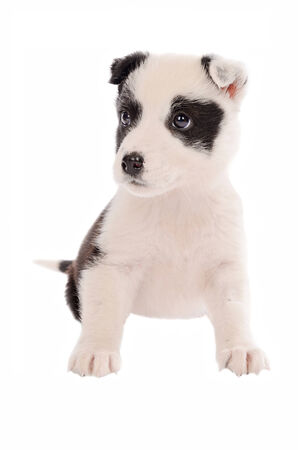 border collie puppy: adorable border collie puppy sitting on white