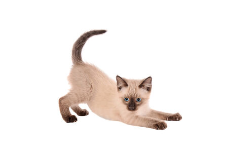 cat stretching: A siamese kitten stretching on a white background