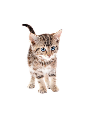 erect: Cute striped cat standing with tail erect