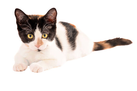Cute calico cat laying on a white background, looking at the camera