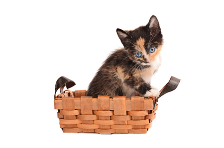 calico whiskers: A calico kitten in a basket on a white background