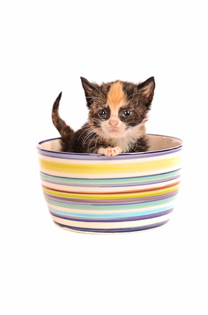 calico whiskers: A calico kitten in a bowl on a white background