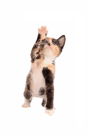 calico whiskers: A calico kitten reaching up on a white background Stock Photo