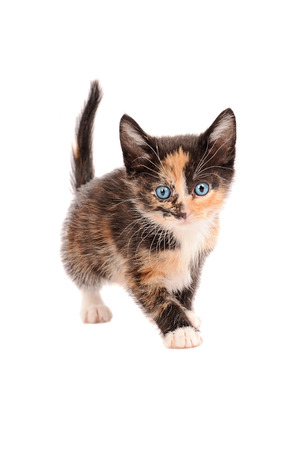 calico cat: A calico kitten standing on a white background
