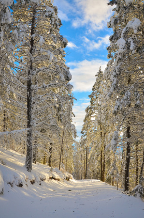 A snow covered forest road hiking trail in winter