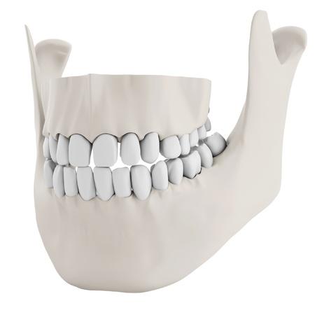 human jaw bone: 3d human jaw bone closed with teeth on white background Stock Photo